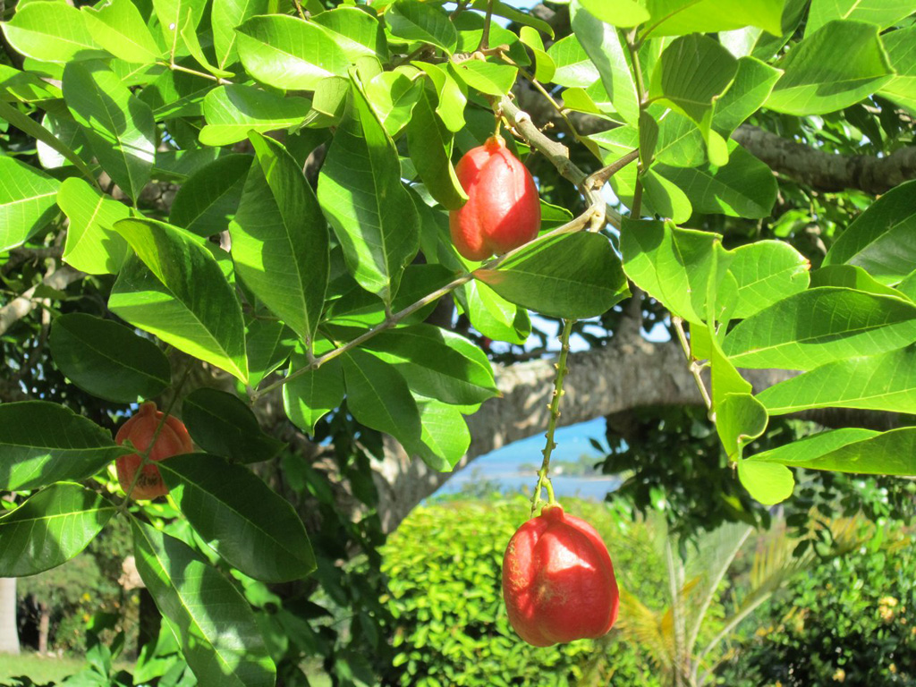 For a true Jamaican start to your day, ask Chubby to make your breakfast our national dish, Ackee and Saltfish.  Pick your own ackee from the tree by the pool!